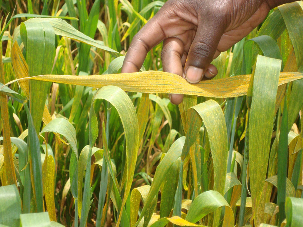 yellow-rust-in-wheat-crop-raises-alarms-in-punjab