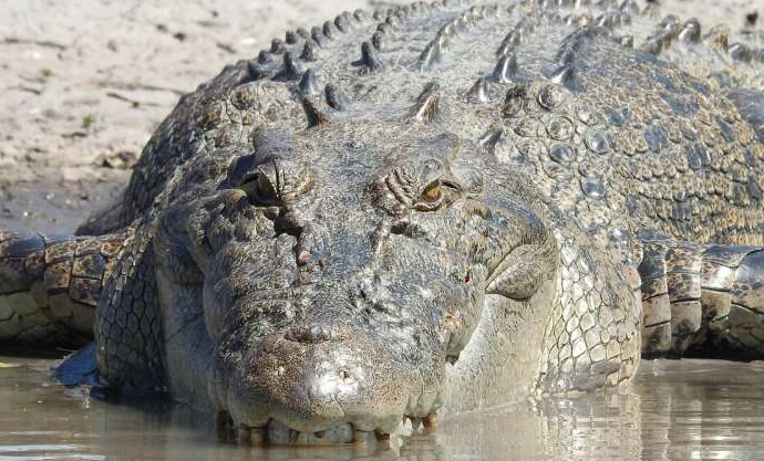 increase-in-crocodile-population