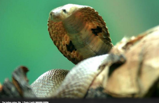 genome-of-indian-cobra-sequenced