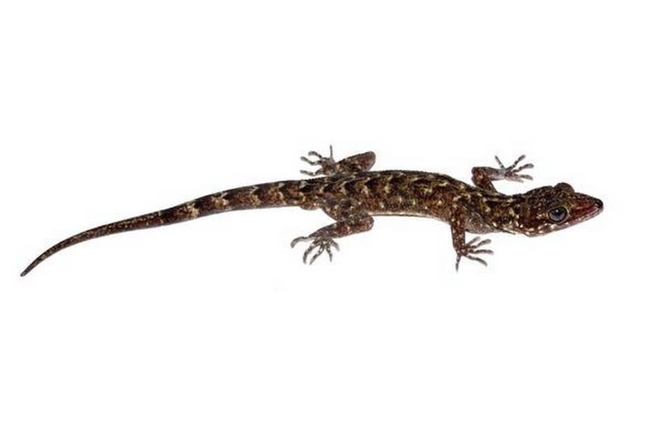 new-species-of-urban-lizard-found-in-guwahati