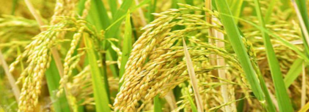 sahyadri-megha-new-paddy-variety