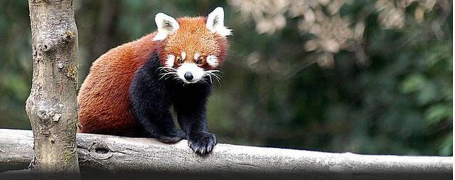 though-hunters-lose-interest-in-red-panda-traps-still-snare-endangered-mammal-summary