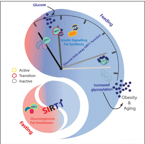 tifr-study-reveals-role-of-glucose-in-regulating-liver-functions-ageing