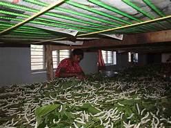 sericulture-in-india