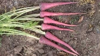 biofortified-carrot-variety-developed-to-benefit-local-farmers-summary