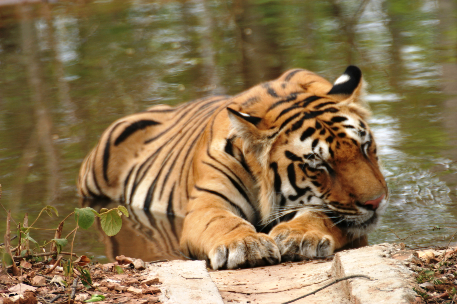 zoos-in-india-on-high-alert-as-a-tiger-found-covid-19-positive-in-new-york-summary