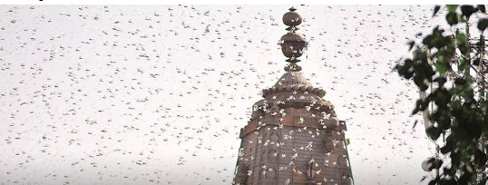 locust-why-sighted-in-urban-areas-what-it-can-mean-for-crops-summary