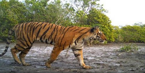 increment-in-tiger-population-in-sunderbans-summary