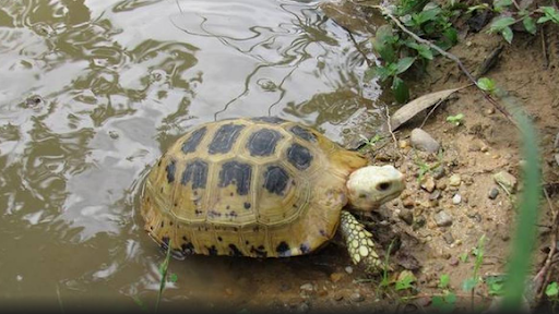 the-habitat-of-sal-forest-tortoise-stretches-over-unprotected-areas-summary