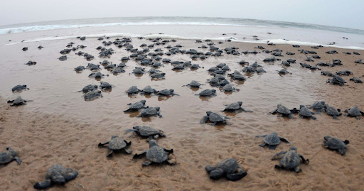 mass-hatching-of-olive-ridley-turtles