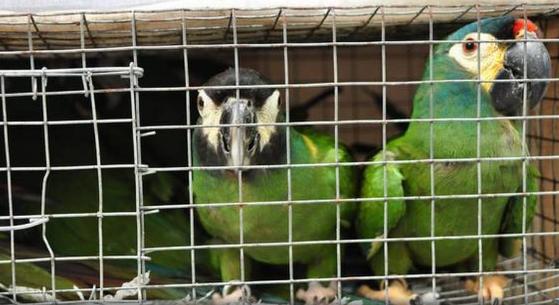 dri-busts-syndicate-smuggling-exotic-macaws-from-bangladesh-summary