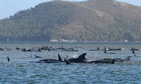over-380-whales-dead-in-mass-stranding-th