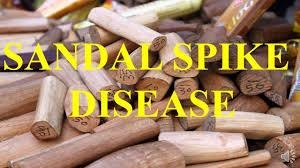 invisible-killer-threatens-countrys-sandalwood-forests-sandalwood-spike-disease
