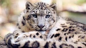 international-snow-leopard-day