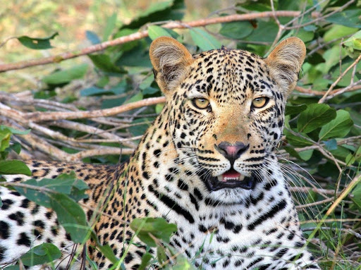three-fold-increase-in-leopard-capture-translocation-study-th