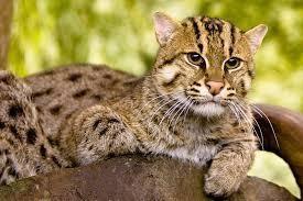 fishing-cat-to-be-the-ambassador-of-chilika-lake-th