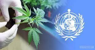 un-removes-cannabis-from-most-dangerous-drug