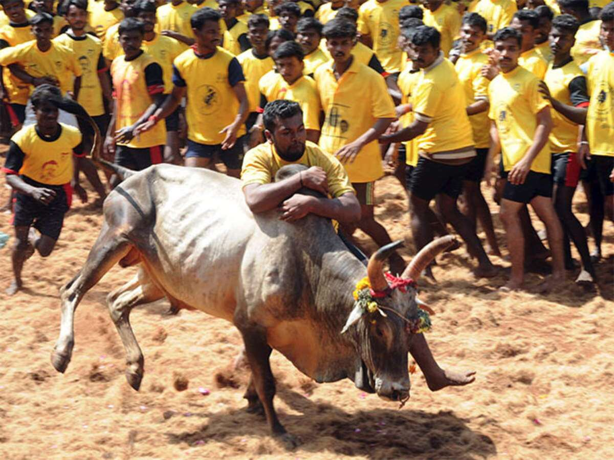 jallikattu-the-cultural-argument-for-an-ancient-tradition