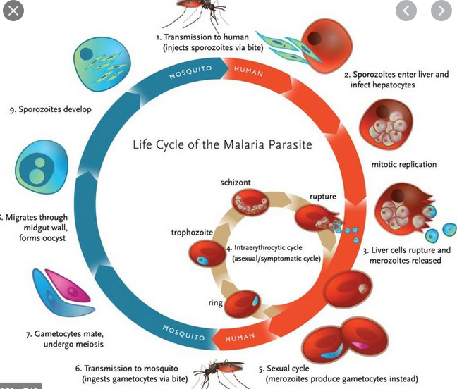 why-a-malaria-vaccine-candidate-has-raised-new-hope