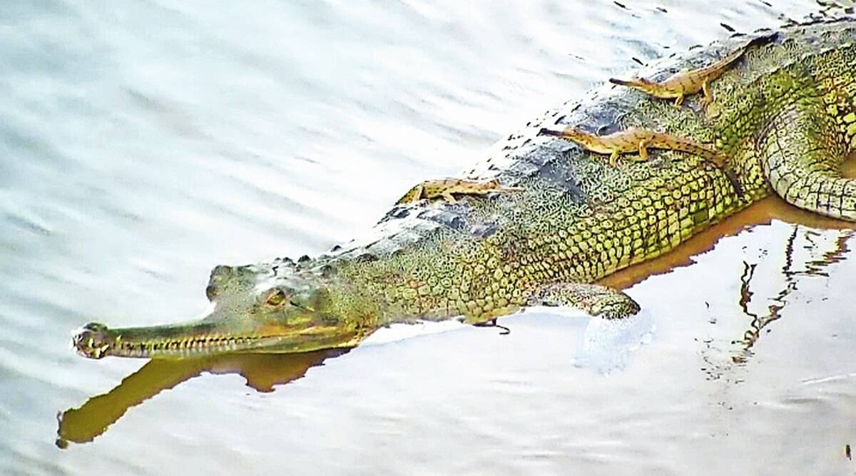 its-a-gharial-after-45-yrs-of-wait-odisha-welcome-first-hatchlings