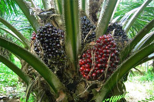 centre-to-boost-oil-palm-farming