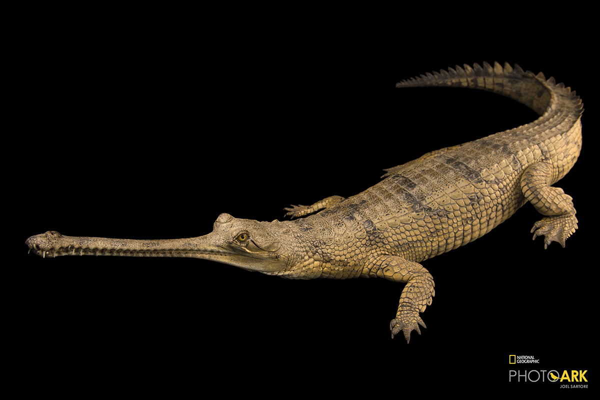Gharial conservation