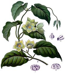 species of Asclepiadaceae family
